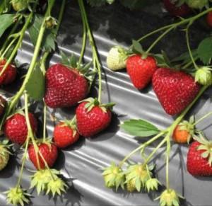 sadzonki truskawek dipred, odmiany truskawek